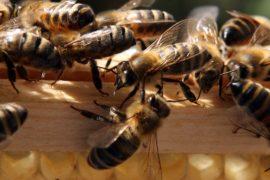 Всемирный день пчёл впервые отметили в Словении
