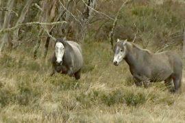 В национальном парке Австралии решили не отстреливать брамби