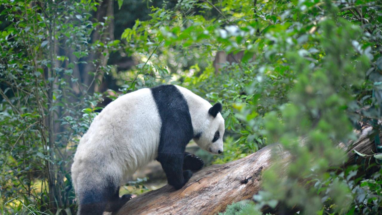 Две старейшие в мире панды вне Китая живут в зоопарке Мехико