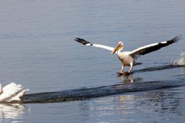 Пеликаны в заповеднике Сребырна вывели птенцов с третьей попытки