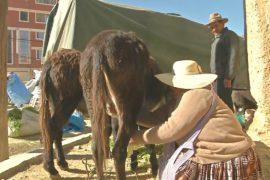 Индейцы в Боливии лечат астму и кашель ослиным молоком