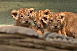 Трёх азиатских львят впервые показали во Франкфуртском зоопарке