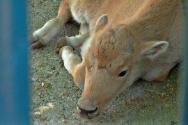В зоопарке Белграда родился уникальный белый бизон