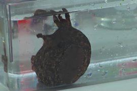 Учёные перенесли воспоминания одного моллюска другому