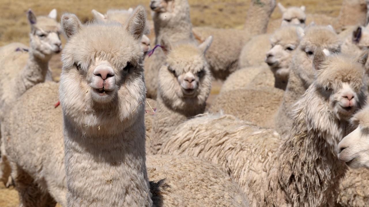 В Боливии и Перу из-за холодов гибнут ламы