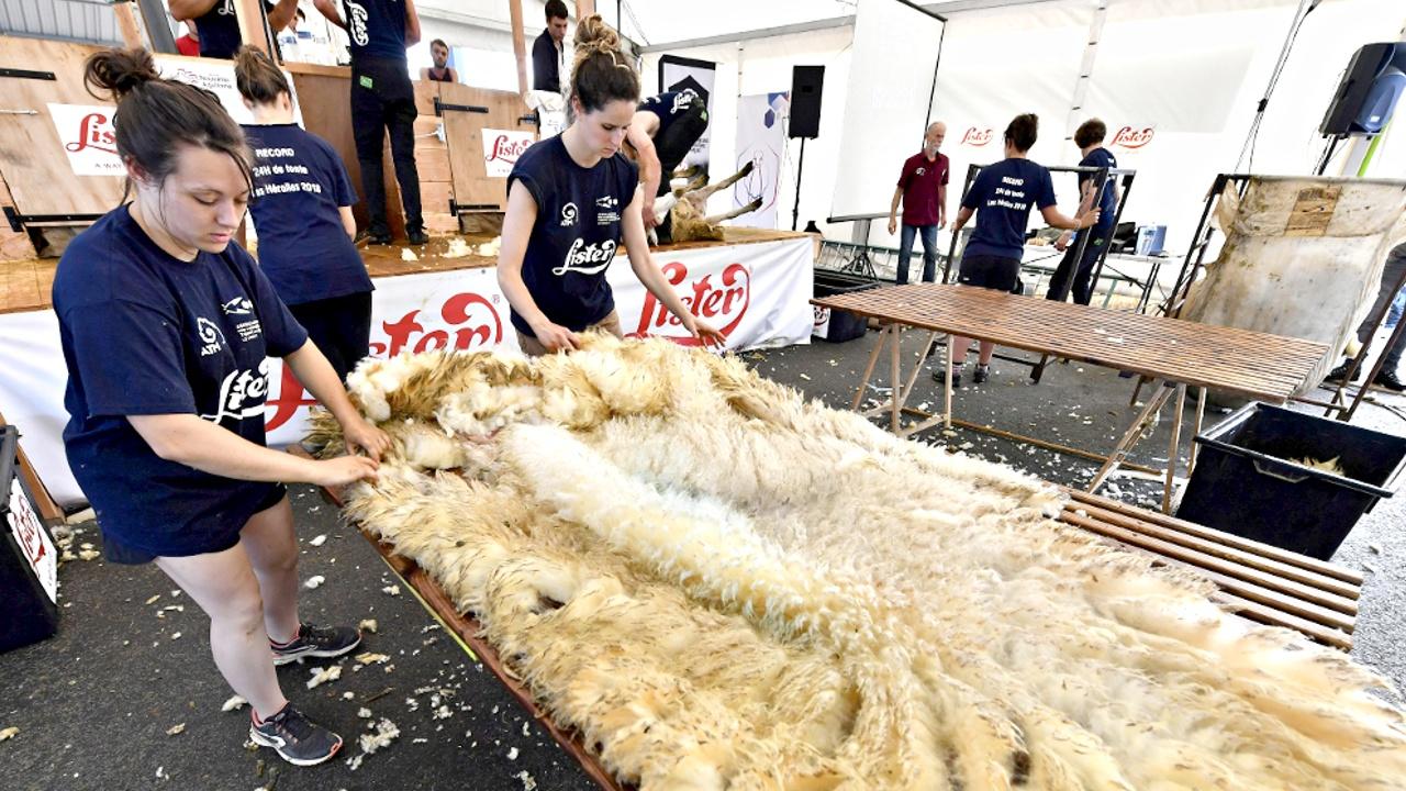 Во Франции остригли 2500 овец за сутки и установили мировой рекорд