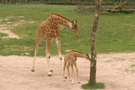 Бельгийский зоопарк показал новорождённого жирафёнка