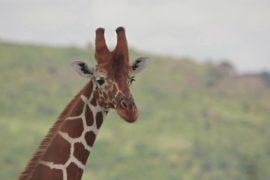 Всемирный день жирафа: как этих животных охраняют в Кении