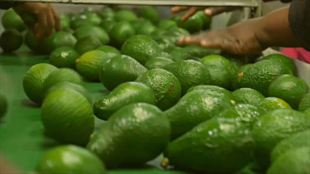 Авокадо – «зелёная золотая жила» для южноафриканцев