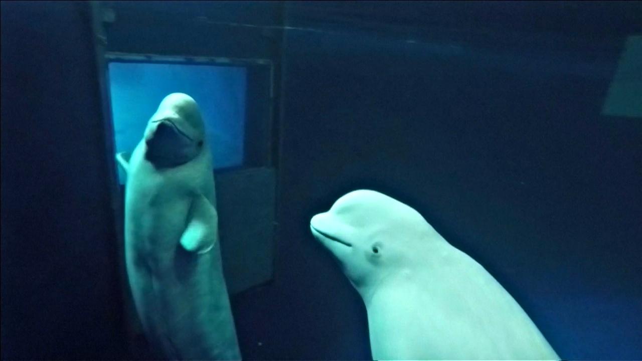 Двух белух из океанариума поселят в заповеднике для китов в Исландии