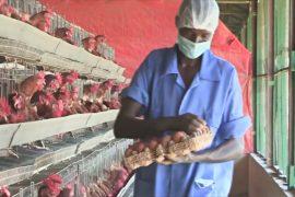 Успех сомалийской птицефермы: в стране растёт спрос на яйца и курятину