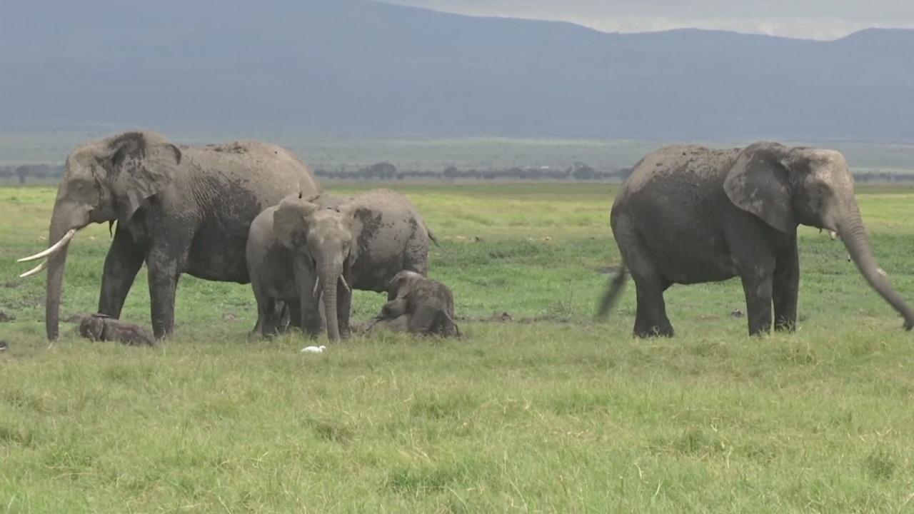 Слонята-двойняшки впервые за 40 лет родились в заповеднике Кении