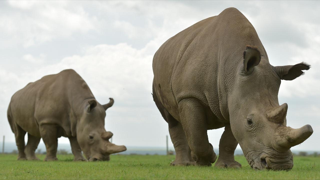 Учёные всё ближе к спасению популяции северного белого носорога