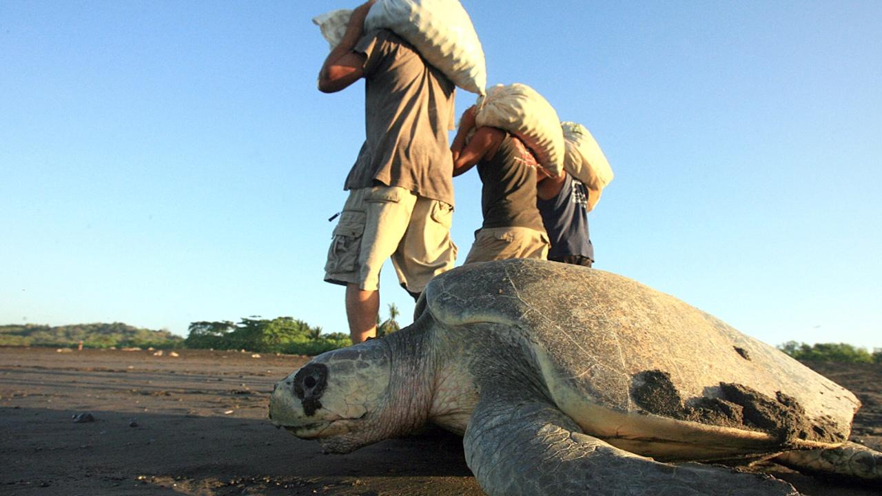 Почему в Коста-Рике разрешили собирать яйца черепах уязвимого вида