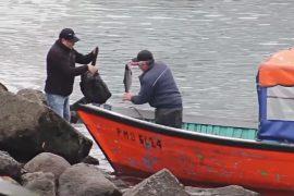 Рыбаки в Чили продают сбежавшего с фермы лосося, накачанного антибиотиками