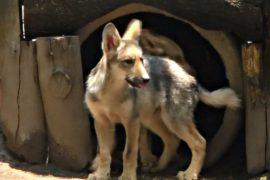 В зоопарке показали вымерших в дикой природе мексиканских волчат