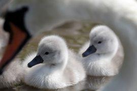 На Темзе пересчитывают лебедей британской королевы