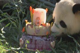 Как панда поедала торт в свой день рождения в Берлинском зоопарке