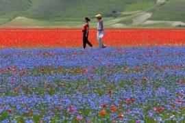 Цветущие маки и васильки: сотни туристов спешат на равнину в Умбрии