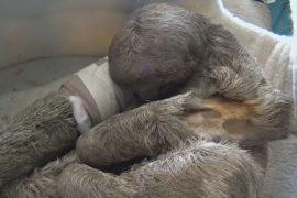 Боливийцы пожертвовали деньги для раненого ленивца