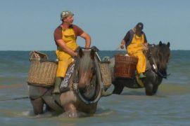 Бельгийские рыбаки хранят традицию ловли креветок на лошадях
