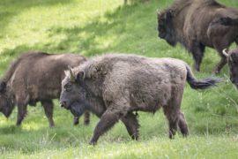 WWF выпустил 6 зубров в лесу Северной Осетии
