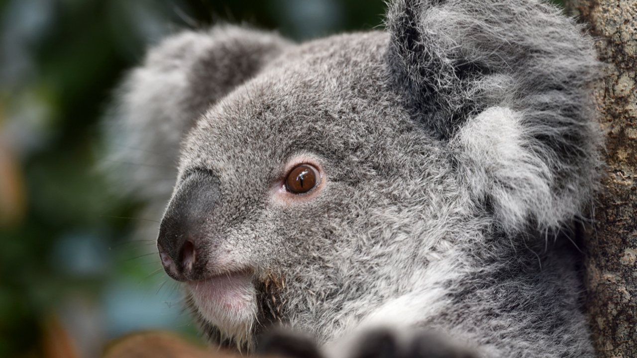 Голодающие коалы гибнут на перенаселённом австралийском острове