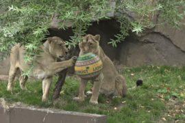 Как в Лондонском зоопарке празднуют Всемирный день льва