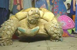 Шпороносная черепаха из зоопарка Пакистана празднует юбилей