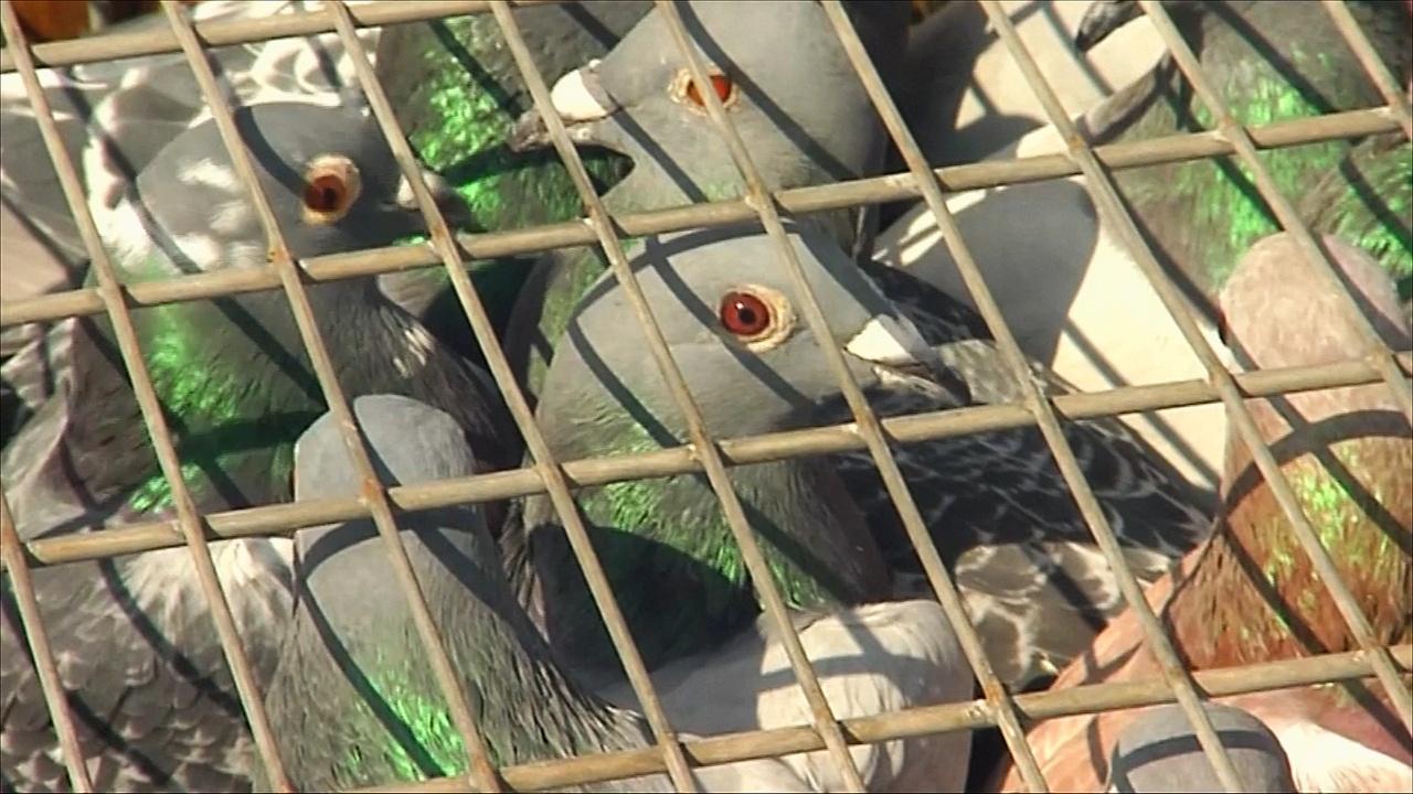 Заводчик «гоночных» голубей в ЮАР хочет продвигать спорт среди темнокожих