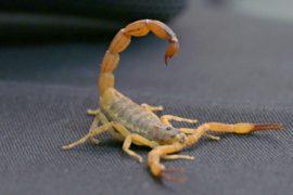 В Бразилии участились случаи укусов скорпионов