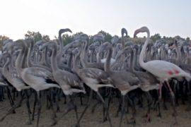 На юге Испании – беби-бум в колонии фламинго