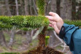 Почему в Чили массово гибнут деревья вида араукария чилийская