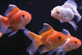 В Париже предлагают не смывать рыбок в унитаз, а отдавать их в приют