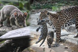 Детёныши ягуара и редкой фоссы дебютировали в зоопарке Парижа