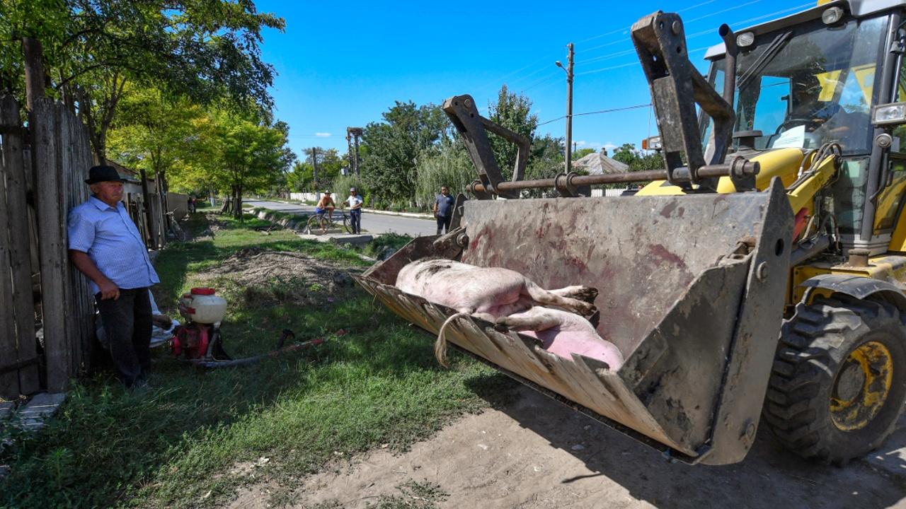 Африканская чума свиней поразила 140 000 животных на крупной ферме в Румынии