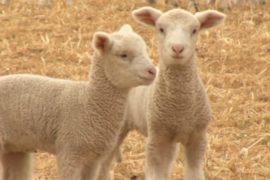 Спрос на шерсть растёт, но засуха в Австралии сокращает поставки