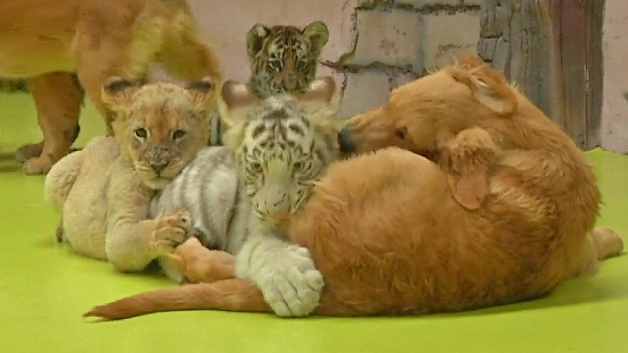 Не разлей вода: как дружат тигрята, львёнок, гиены и щенки ретривера