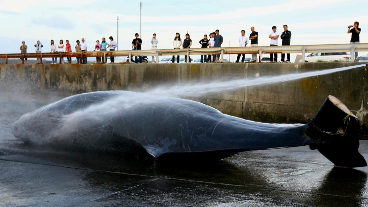 Япония предлагает снова разрешить китобойный промысел