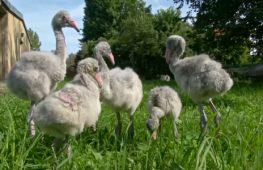В Пражском зоопарке птенцов фламинго учат ходить и общаться