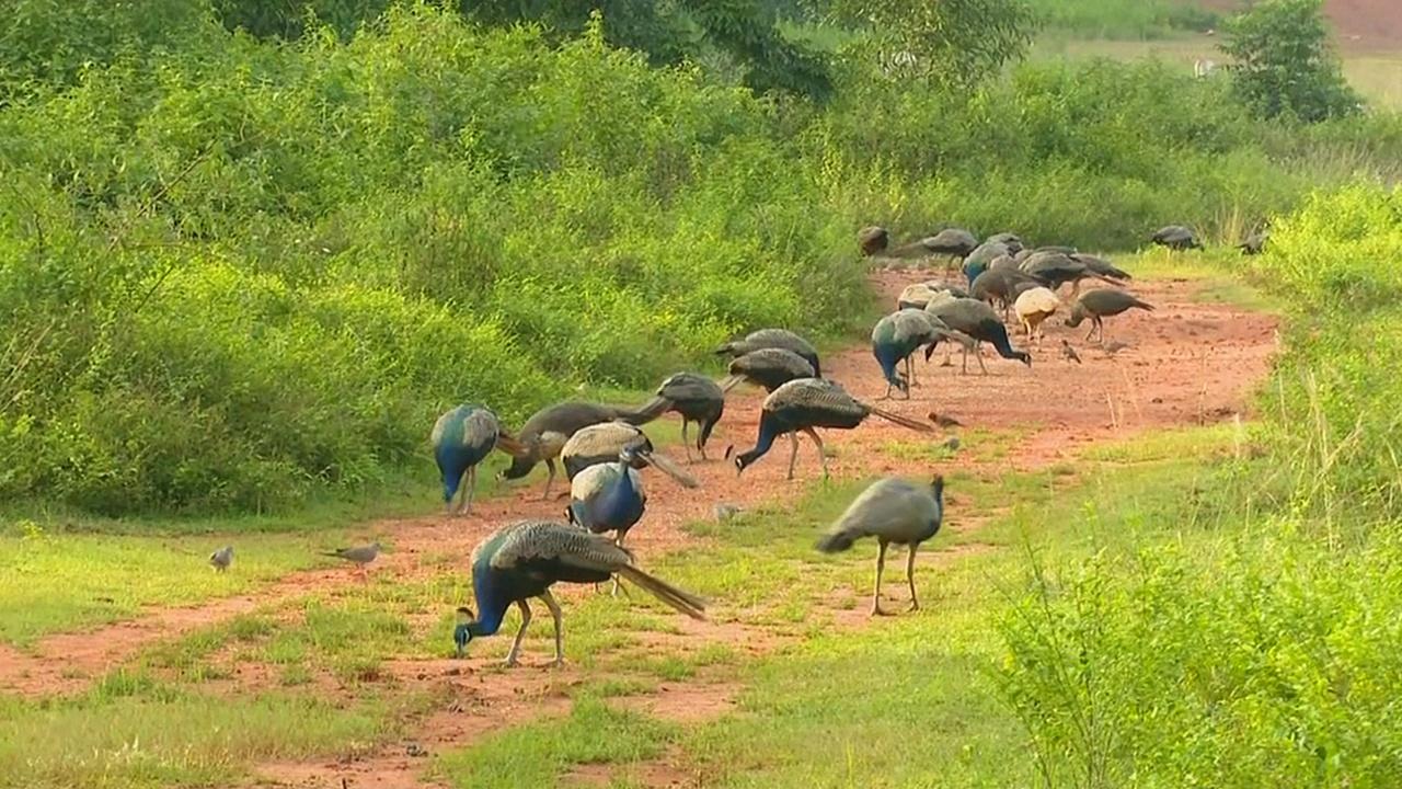Житель Индии содержит на своём участке более 100 павлинов