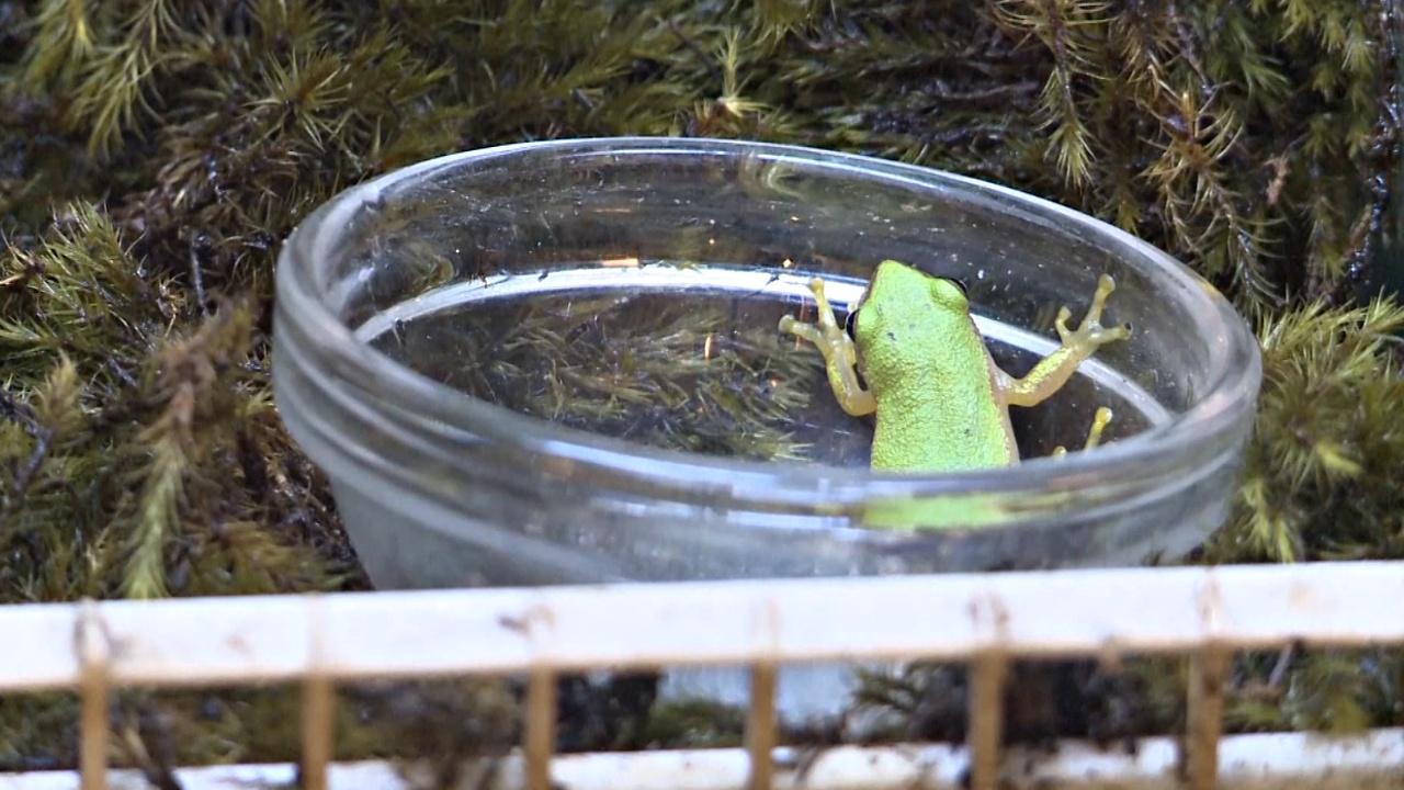 Крохотных тростниковых лягушек пытаются сохранить в ЮАР