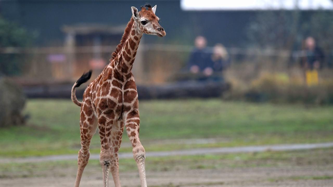 Детёныш редчайшего вида жирафа делает первые шаги в сафари-парке