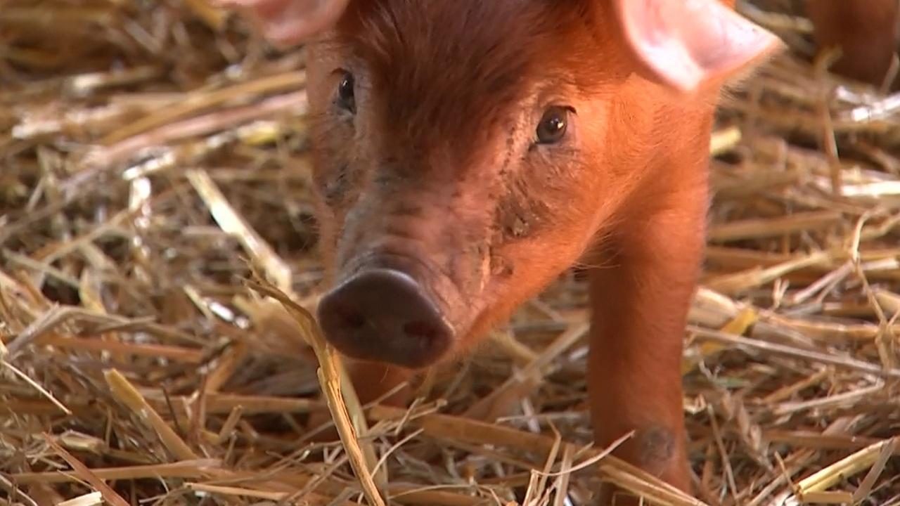 Чума свиней в Бельгии: фермеры боятся эпидемии и падения цен на мясо