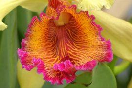 В Колумбии проходит крупнейшая выставка орхидей