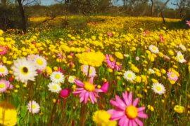 Западная Австралия утопает в полевых цветах