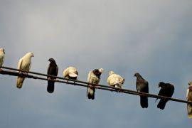 Из города — в дикую природу: власти Бангкока выгоняют голубей
