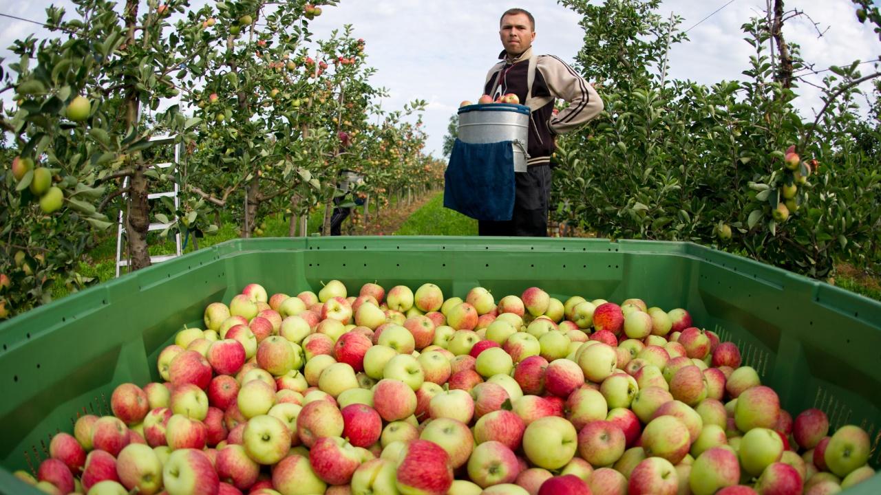 В Польше рекордный урожай яблок, фермеры в панике