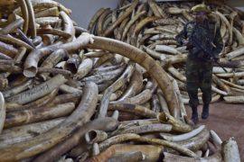 Несмотря на запрет, в Китай везут всё больше слоновой кости
