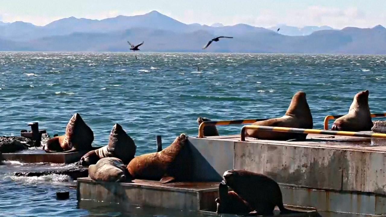 Уникальная зимовка морских львов в Петропавловске-Камчатском